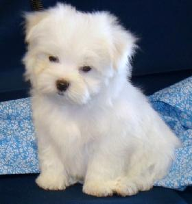 5 week old male Maltese puppy